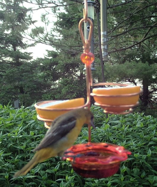 Triple Oriole Feeder