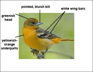 Diagram of Male Baltimore Oriole