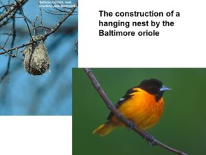 Baltimore Oriole Nest