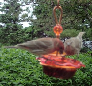 House Finch - Double Oriole Feeder