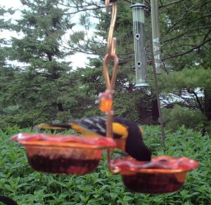 Double Oriole